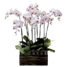 7 white phalaenopsis stems plant HV-T-4071(ID: HV-T-4071)